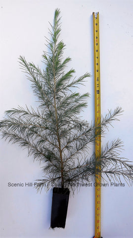 Deodar Cedar, Live Potted Tree 18 - 24 Inches tall, graceful, pendulous branches