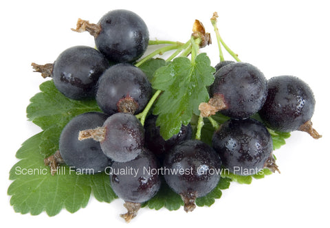 Jostaberry Plant - Ships Fully Rooted In Soil - 3 Way Gooseberry/ Currant Cross
