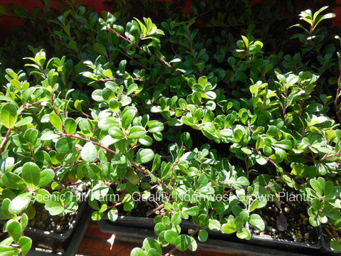 Kinnikinnick Ground cover - Scenic Hill Farm Nursery