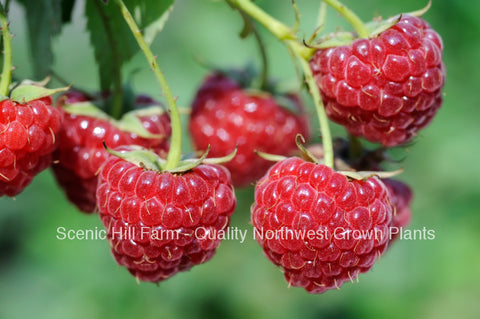 Potted Meeker Red Raspberry Plants - Great Flavor High Sugar Content