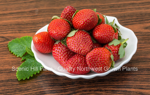 Ozark Beauty Ever Bearing Strawberries - Certified Bare Root Plants - Sweet