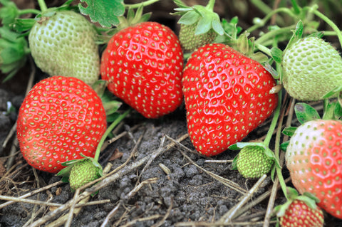 Rainier Strawberry- Great for Home Gardens- Easy to Grow- Sweet Berries