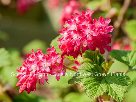 Red Flowering Currant Plants
