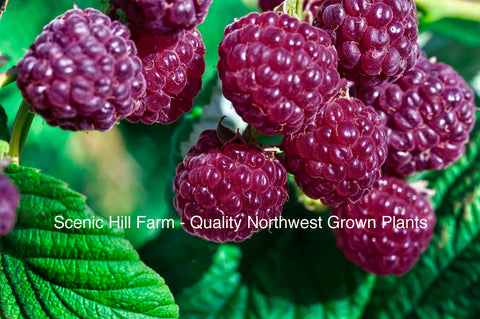 Royalty Purple Raspberries - Scenic Hill Farm Nursery