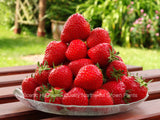 Seascape Ever Bearing Strawberry Plants - Certified Bare Root Plants
