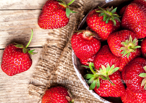 Sequoia Strawberry Plants - Certified - Great in California And The South