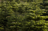 Abies procera, Noble Fir - 6-10 inches tall seedlings