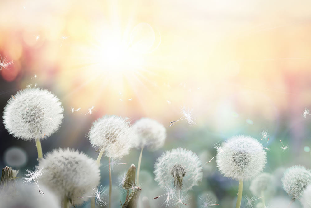 Dandelions that cause eye allergies