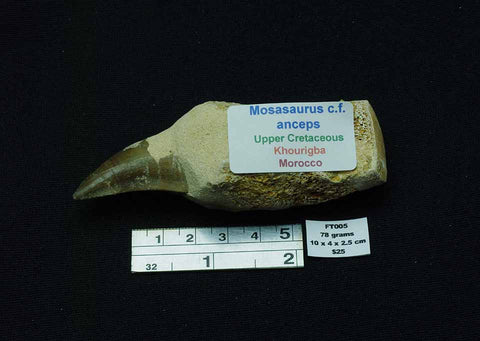 MOSASAURUS TOOTH FOSSIL FOSSIL C.F. ANCEPS, KHOURIGBA, MOROCCO FT005