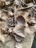 Crinoid and Shell Fossil.