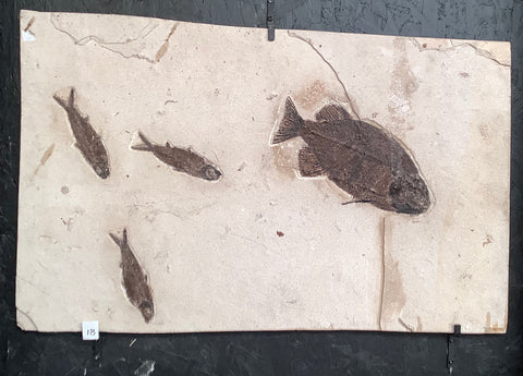 Phareodus encaustus and Knightia Alta Fossil Fish
