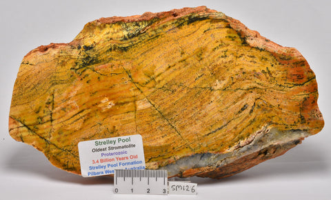 Stromatolite STRELLEY POOL SLICE BUTT END 3.4byo, SM126