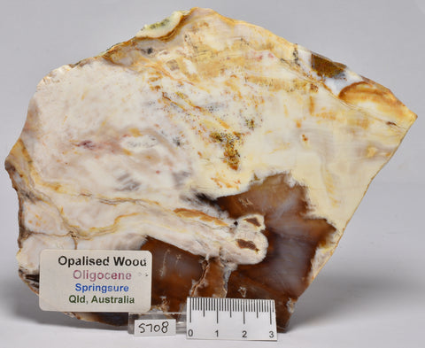 OPALISED WOOD SLICE, Polished Oligocene, Springsure Qld, Australia S708