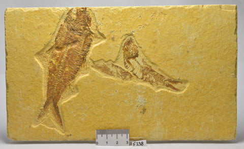 FISH FOSSIL, Knightia alta, Eocene, TRIPLE FISH FOSSIL, Kemmer, Wyoming, USA (F238)