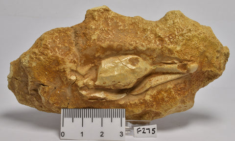 FOSSIL CRAB, Miocene 95 grams. Port Campbell, Vic, Australia (F275)