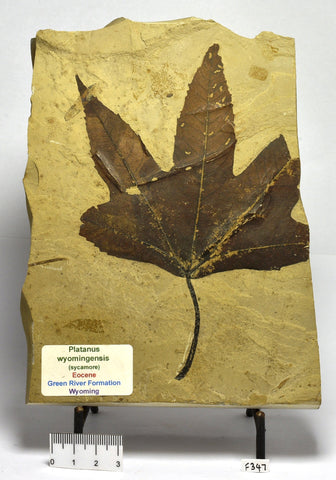 FOSSIL SYCAMORE LEAF PLANTANUS WYOMINGENSIS F347