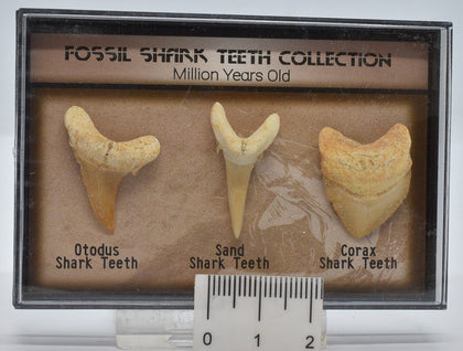 FOSSIL SHARK TEETH COLLECTION IN CASE