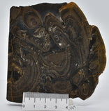 "Devonian ""Horse Tooth"" STROMATOLITE, Lower Flagstones Fmt, Scotland S47"
