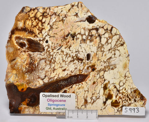 OPALISED WOOD SLICE, Polished Oligocene, Springsure Qld, Australia (S993)