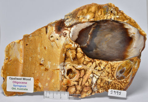 OPALISED WOOD SLICE, Polished Oligocene, Springsure Qld, Australia (S995)