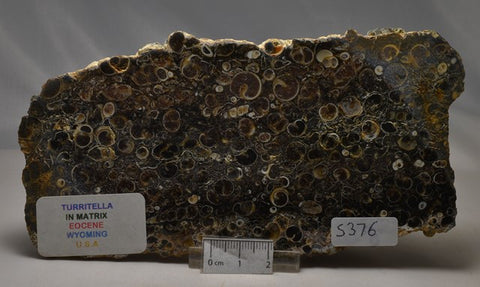 TURRITELLA in matrix, Polished FOSSIL Slice, 405g, Wyoming U.S.A (S376)