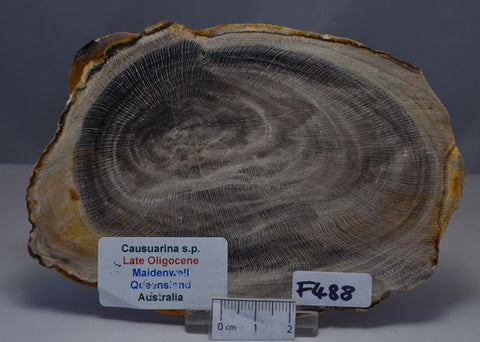 CAUSUARINA PETRIFIED FOSSIL WOOD, late Oligocene, Queensland Australia (F488)