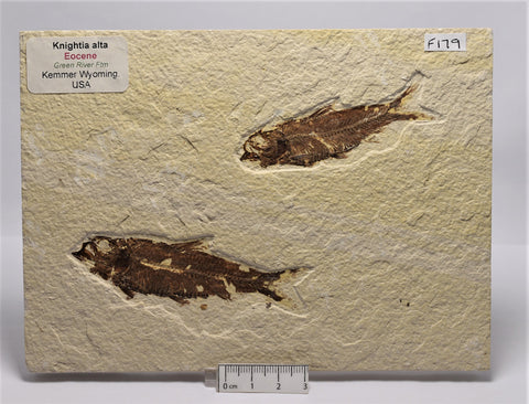 FISH FOSSIL KNIGHTIA ALTA, Double FISH FOSSIL, (F179)