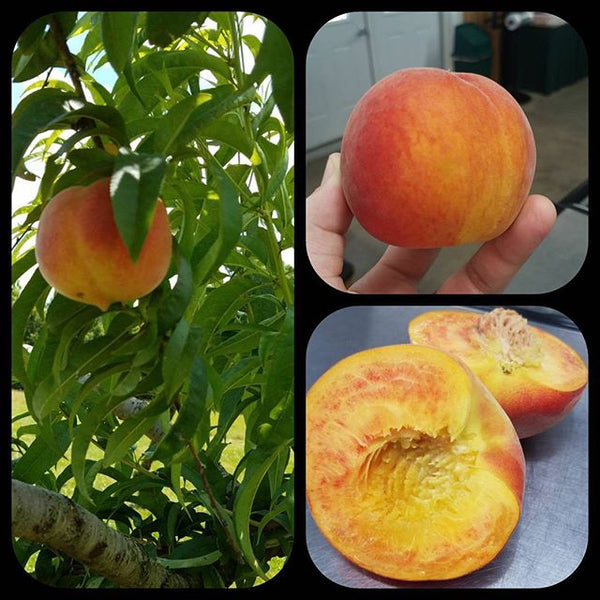 YOU-PICK peaches started July 9!!!!