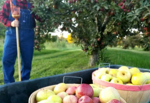 apple picking at gardener's orchard