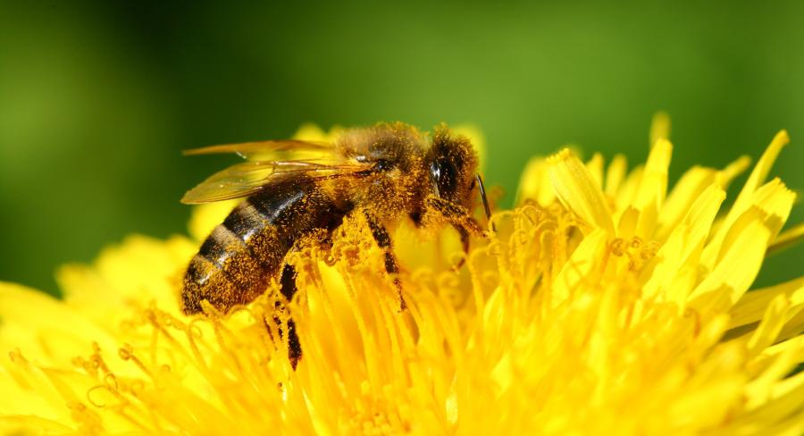 The Bee's Knees: Benefits of Bee Pollen