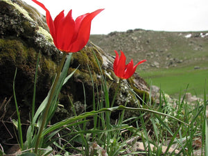 Tulipa Armena Wild Tulip Central Asia Tulips in the Wild Eric Breed