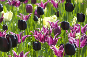 Queen of Night Paul Scherer Tulips With Purple Amsterdam Tulip Museum