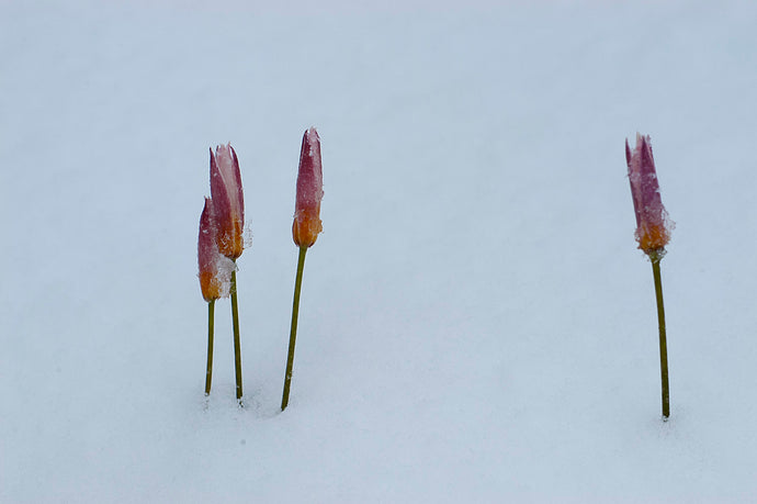 Do Tulips Need A Cold Period To Bloom?