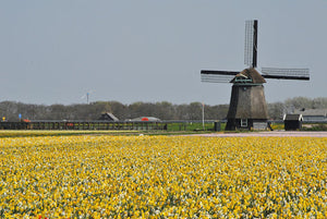 Amsterdam Tulip Museum Yellow Tulip Fields Windmill Holland How New Tulip Breeds Are Created