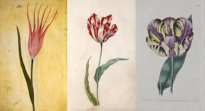 Perfect Tulips Ottoman Empire Semper Augustus English Florists' Tulip Amsterdam Tulip Museum