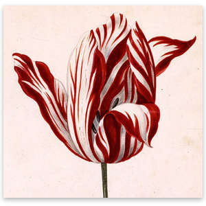 What Is The Most Famous Tulip In History?