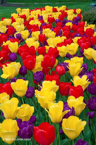 Tulips Tulip Field Red Yellow Purple Dutch