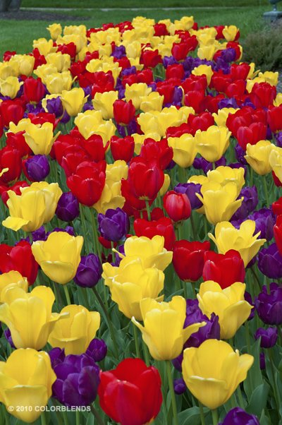 Do Different Tulip Colors Have Different Meanings?
