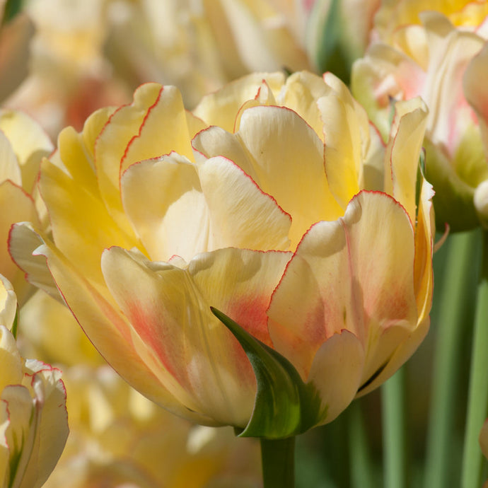 Tulip of the Week: Akebono
