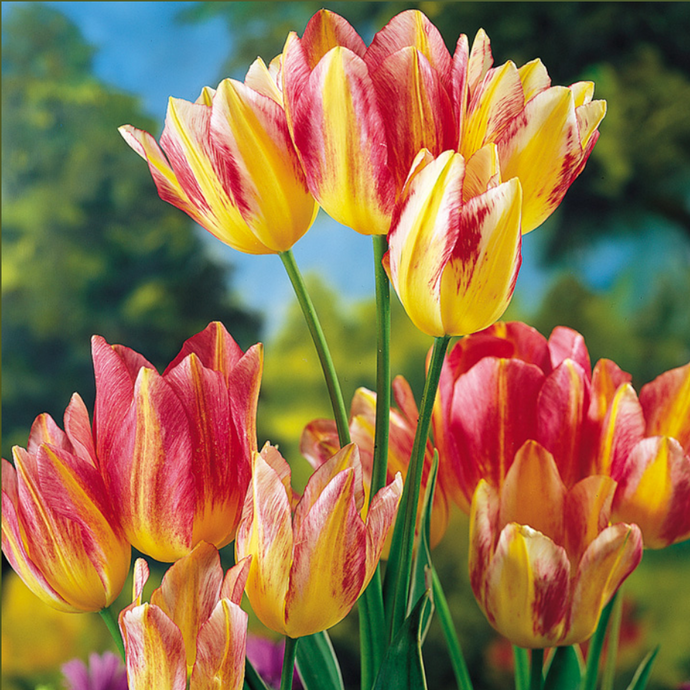 Do Multi-Headed Tulips Exist?