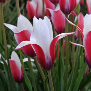 Tulipa Peppermint Stick Tulip Fluwel Flower Bulbs