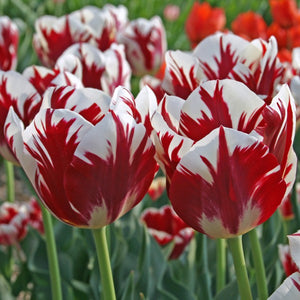 Tulipa Grand Perfection Modern Rembrandt Fluwel Flowerbulbs