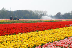 Dutch Tulip Fields Irrigation Red Yellow Pink Tulip Rows Cultivated Tractor