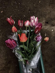 Broken Tulips Bouquet of Broken Tulips Tulip Breaking Virus Takao Inoue www.takaoinoue.com