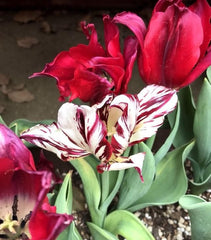 Broken Tulip In the Garden Tulip Breaking Virus Red Tulip Broken Takao Inoue www.takaoinoue.com