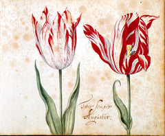 Semper Augustus Tulip Broken Tulip Tulip Mania Tulip Catalog Red and White Tulip