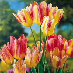 Tulipa Antoinette Multi-Headed Tulip Pink And Yellow Suttons Seeds