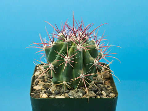Ferocactus pilosus - Plant of the Month