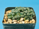 Aloinopsis schooneesii - Plant of the month