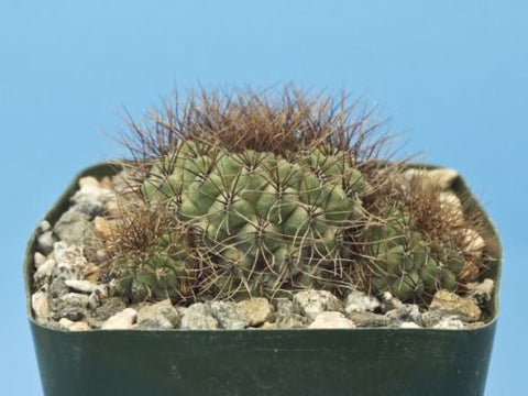 Sulcorebutia pulchra [B] cactus Beautiful colors w/Offsets!! [Seed Grown] B75